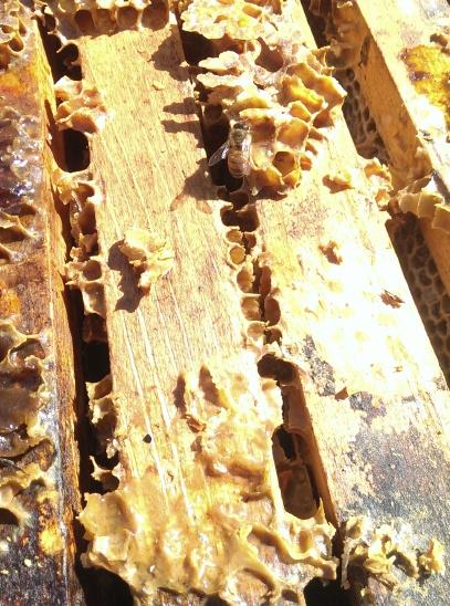 honeybee eating honey from Asteria