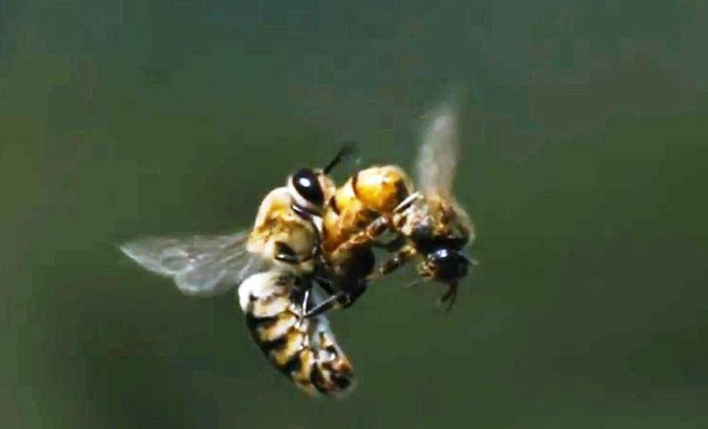 Queen-Honeybee-mating-flight-1