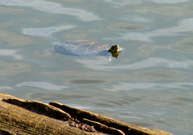 turtle-swimming-in-water